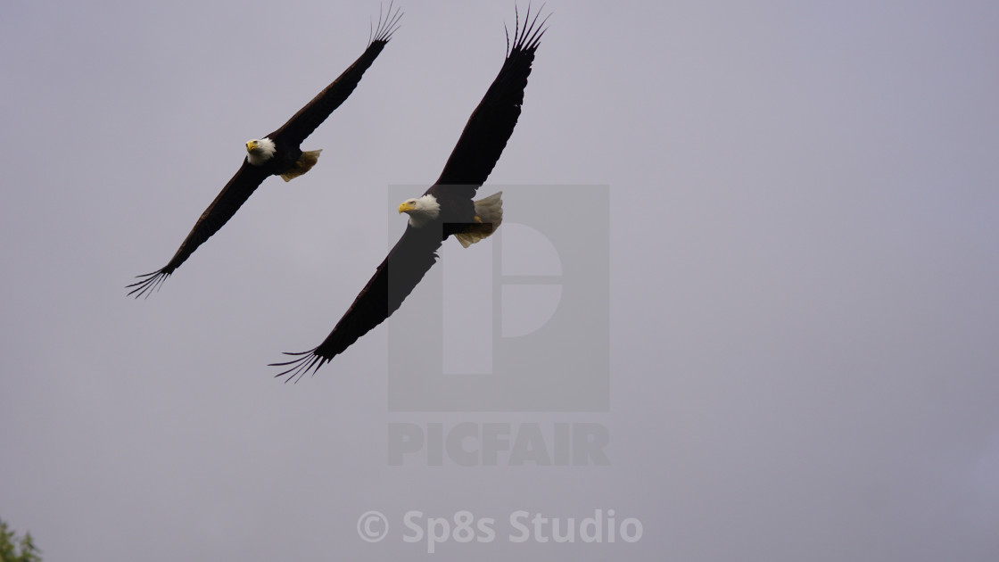 """""""Two Eagles in flight"""" stock image"""