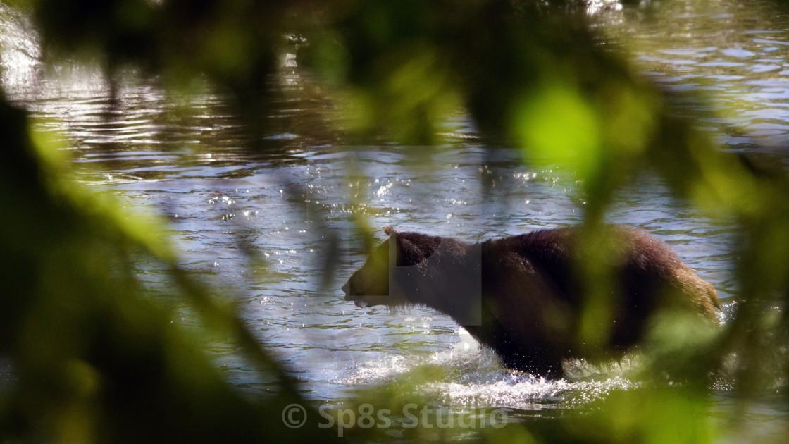 """Black bear through the trees"" stock image"