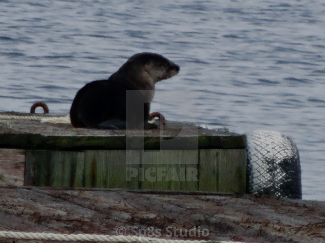"""""""Otter on a dock"""" stock image"""