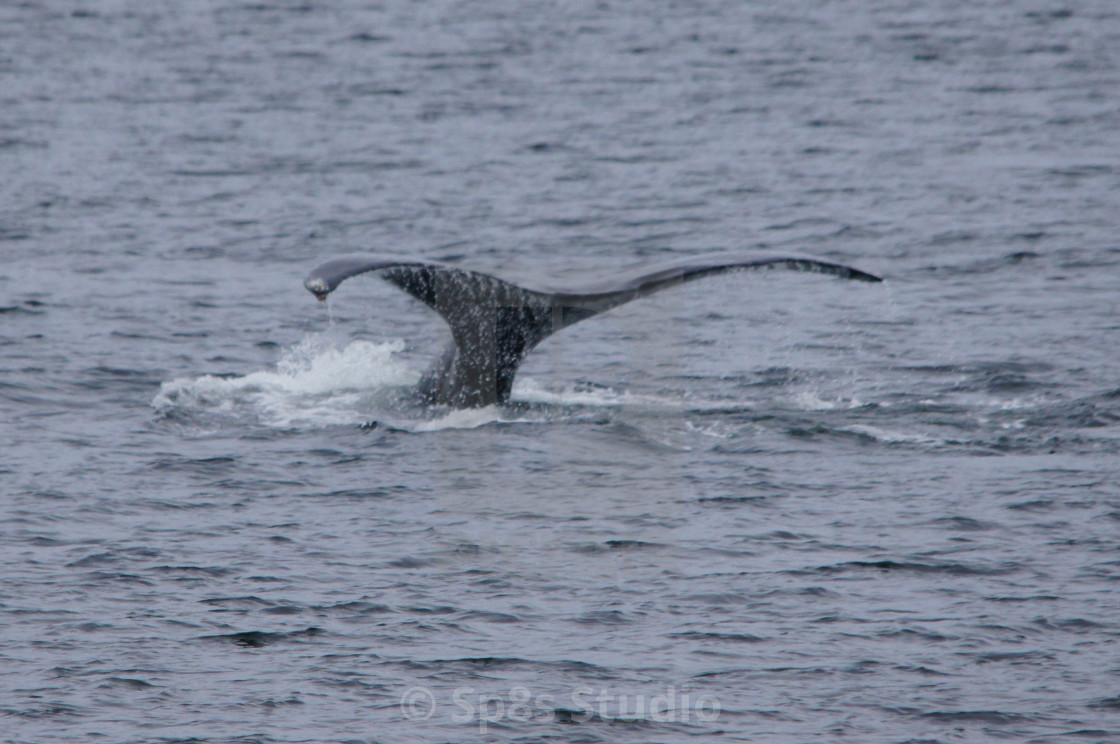 """""""Humpback whale tail 2"""" stock image"""