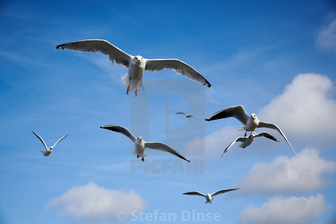 """""""a flock of seagulls in blue sky with some clouds"""" stock image"""