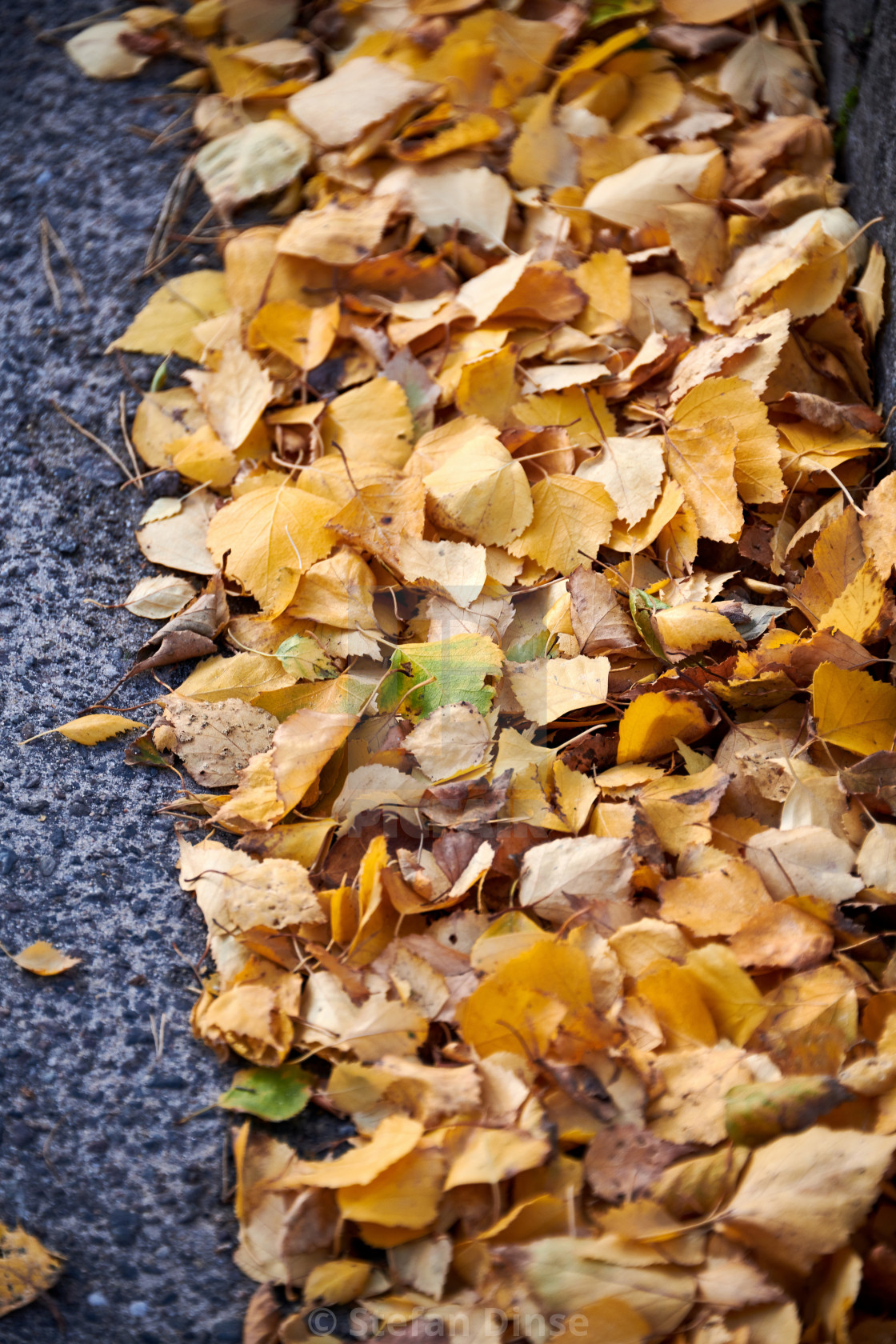 """""""Yellow birch leaves at the roadside in autumn"""" stock image"""