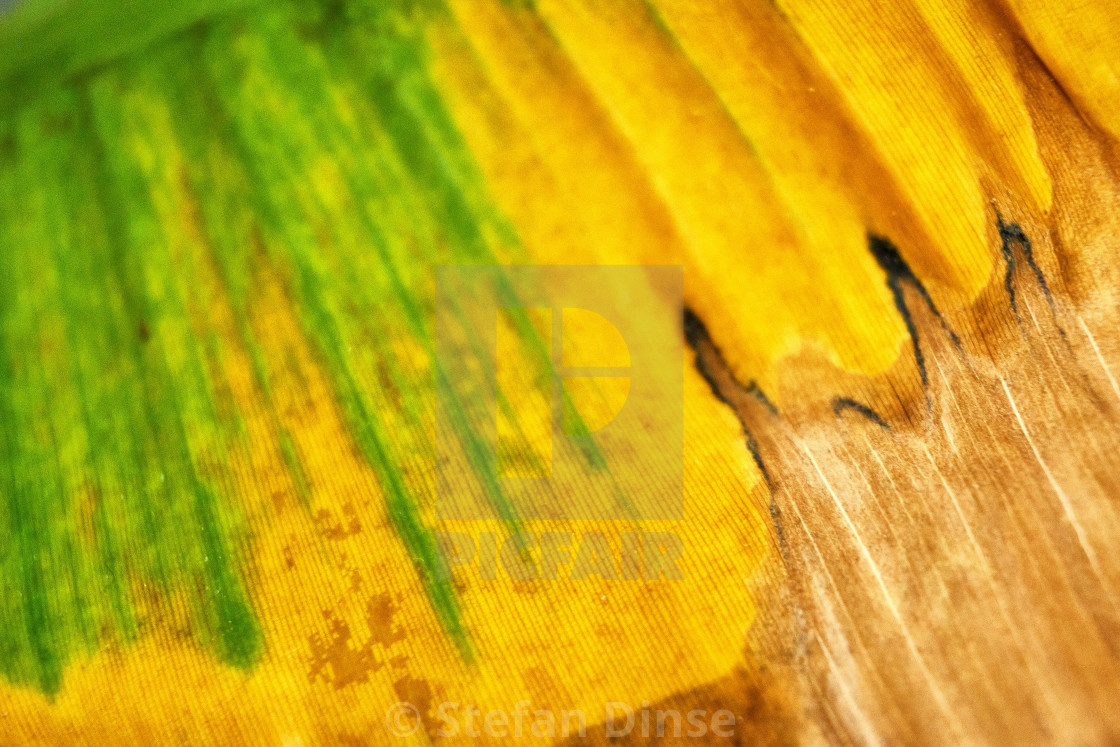"""""""dying banana leaf in green and yellow colors"""" stock image"""