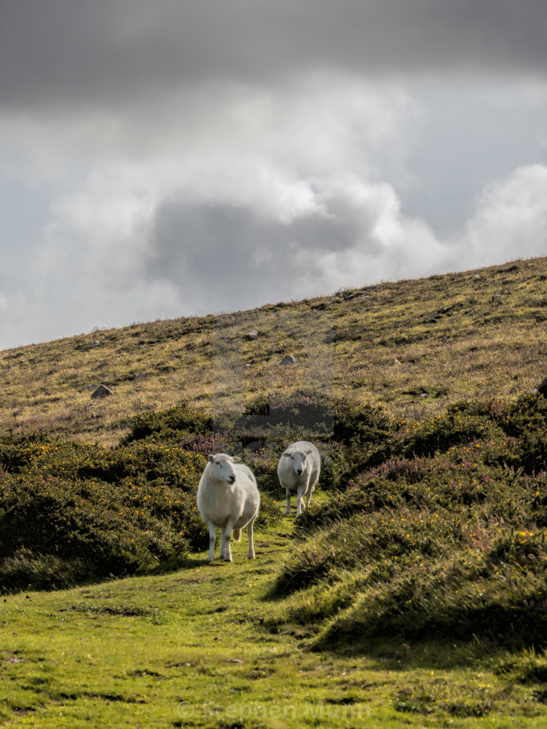 """""""Two Sheep on Hill, Wales"""" stock image"""