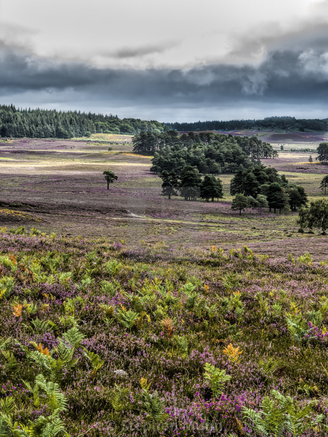 """""""New Forest Heather"""" stock image"""