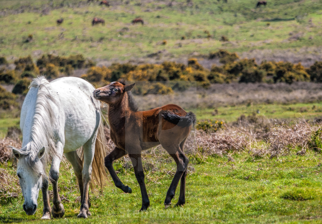 """""""Pony and foal, New Forest National Park"""" stock image"""