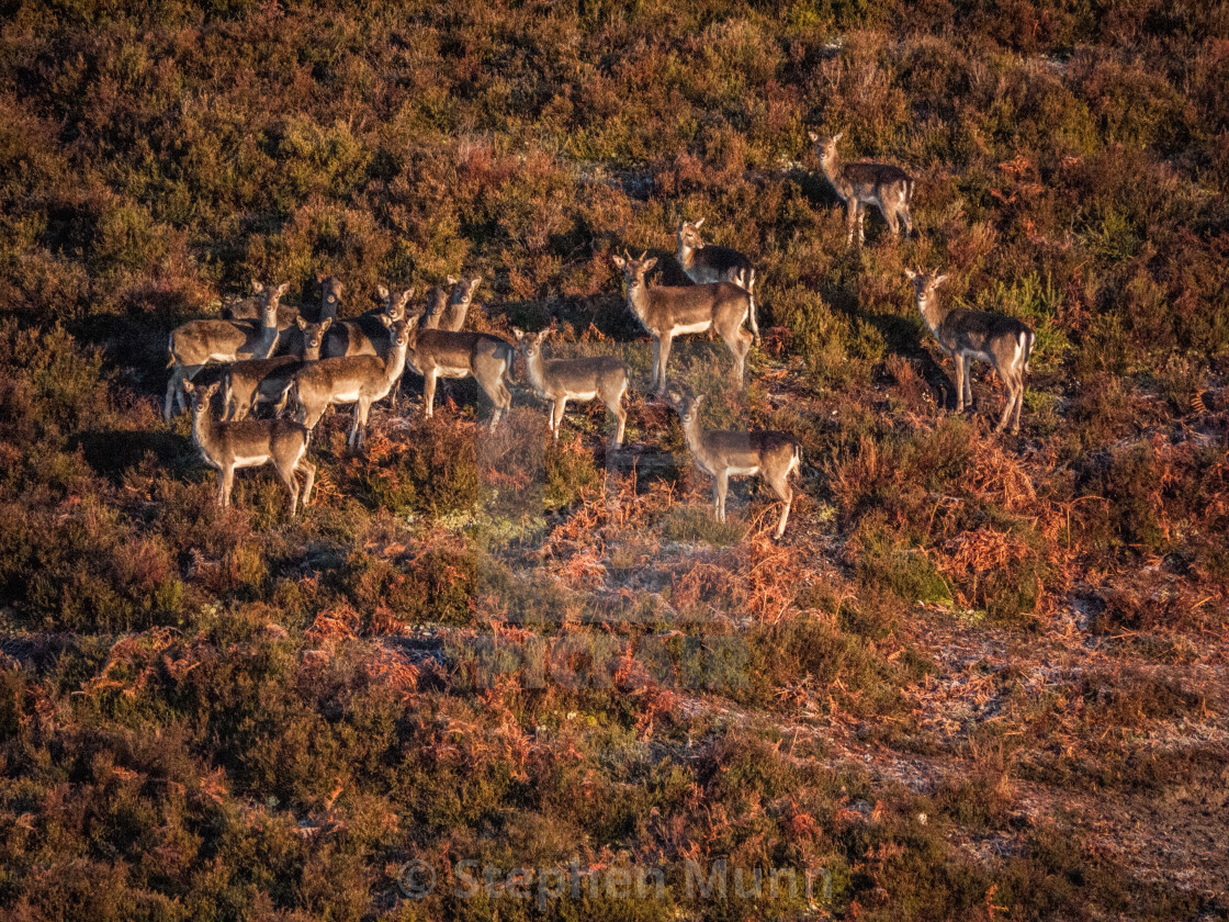 """""""Sika deer, New Forest National Park"""" stock image"""
