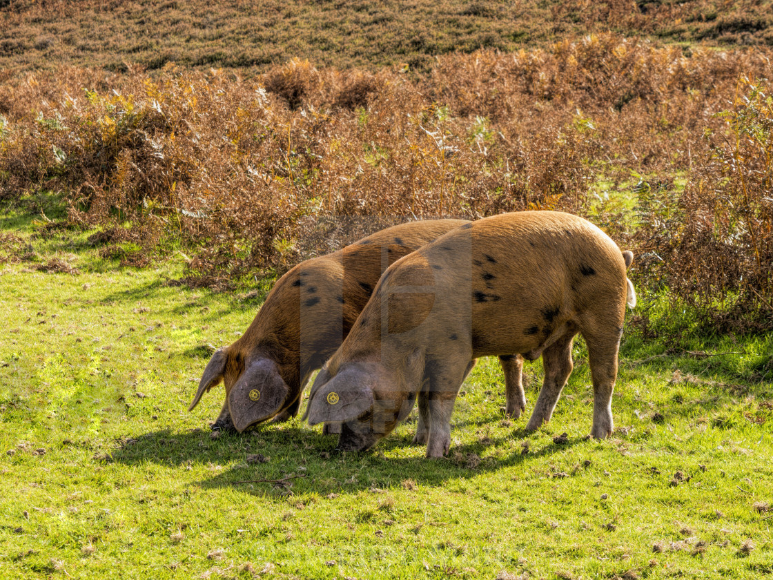 """""""Panage Pigs on the New Forest National Park"""" stock image"""