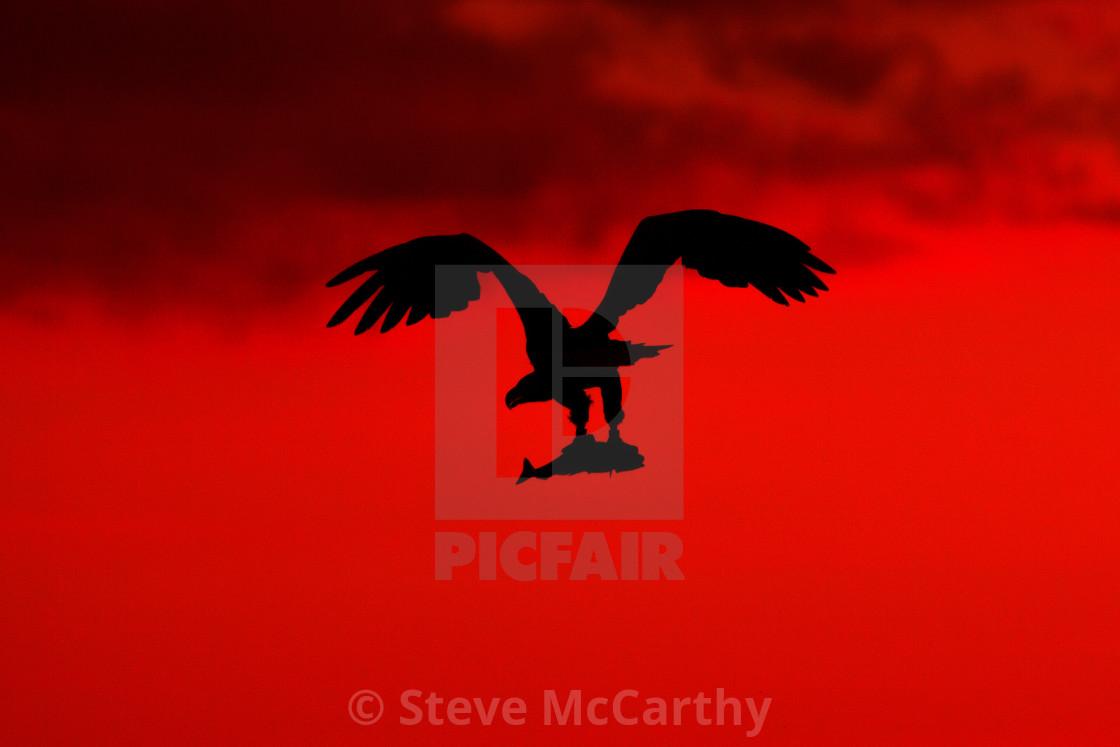 """""""White Tailed Sea Eagle"""" stock image"""
