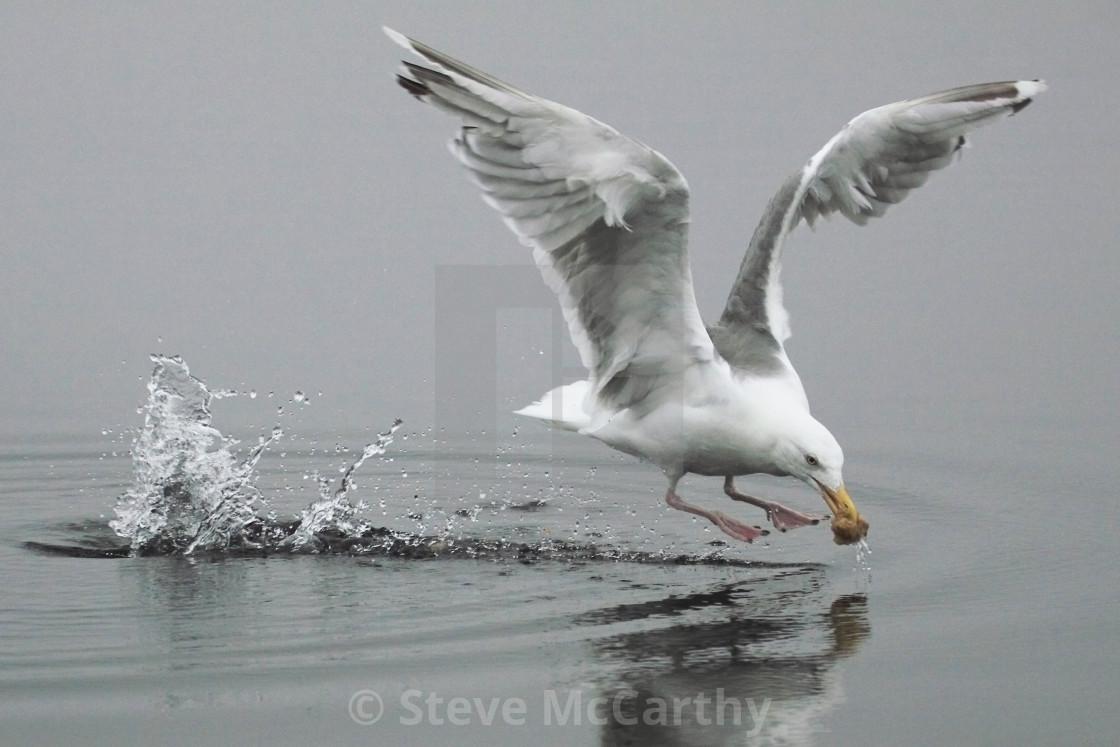 """Seagull feeding"" stock image"