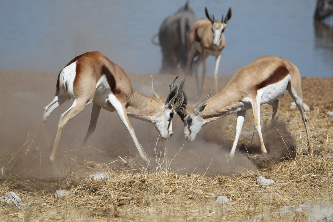 """Springbok fighting"" stock image"