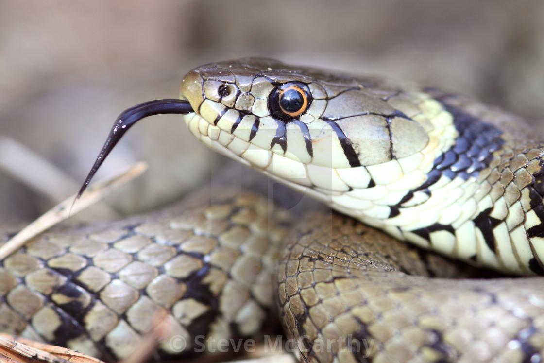 """Grass snake"" stock image"