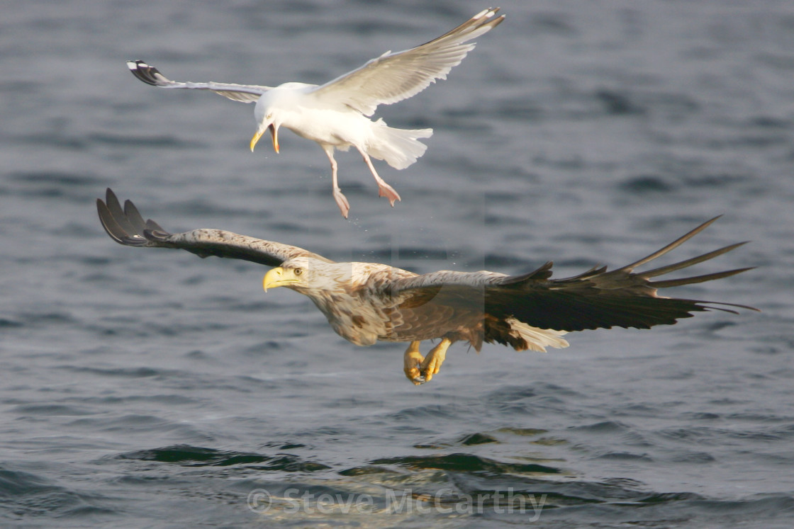 """""""Gull and Eagle"""" stock image"""