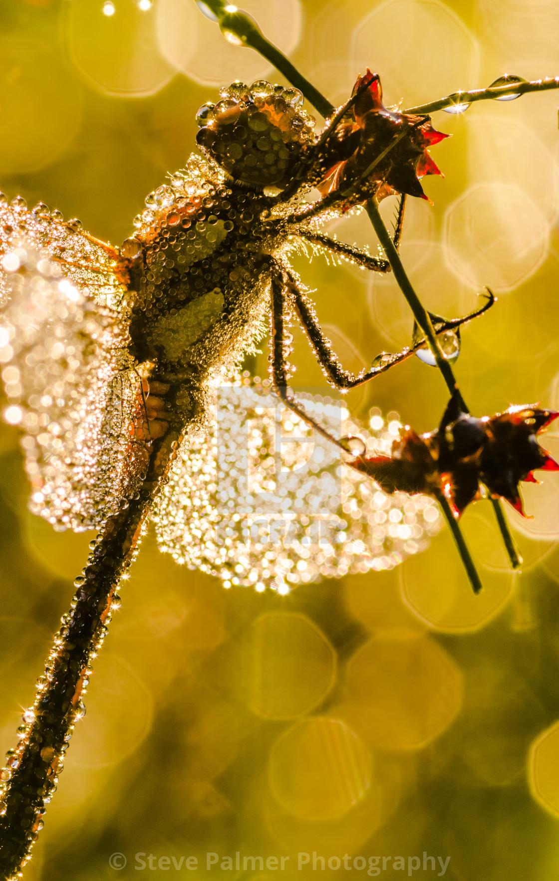 """""""Dragonfly Sunrise"""" stock image"""