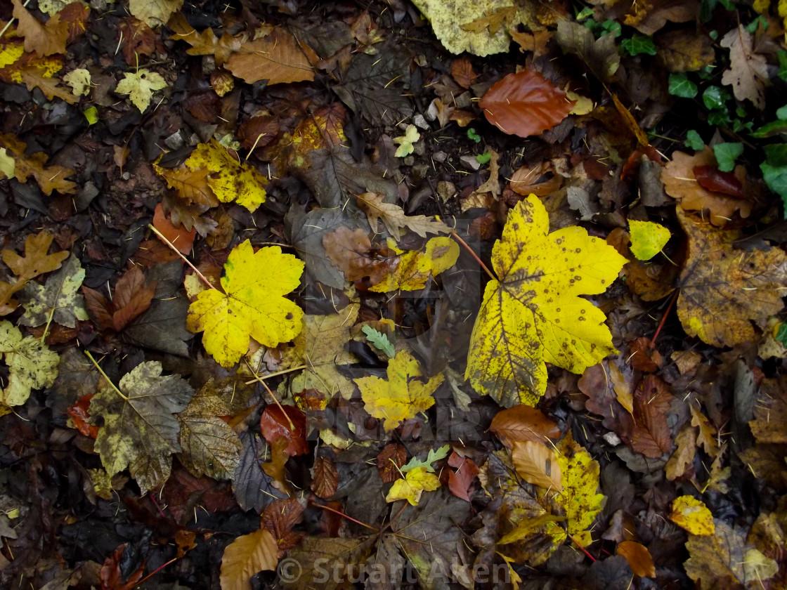 """Yellow Autumn Leaves"" stock image"