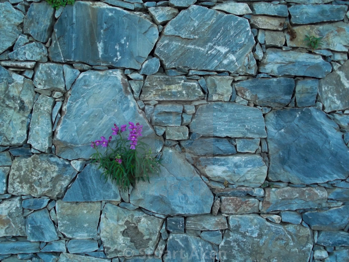 """Purple Blooms on Blue Stone Wall"" stock image"