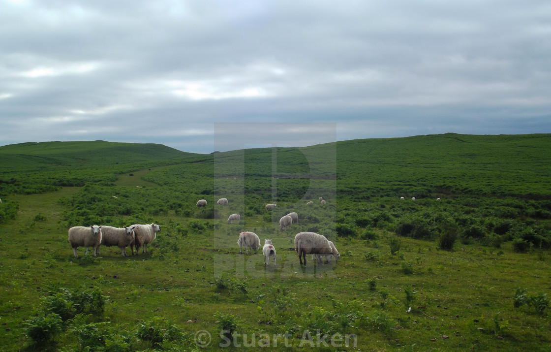 """""""Sheep on the Foothills of the Brecon Beacons"""" stock image"""