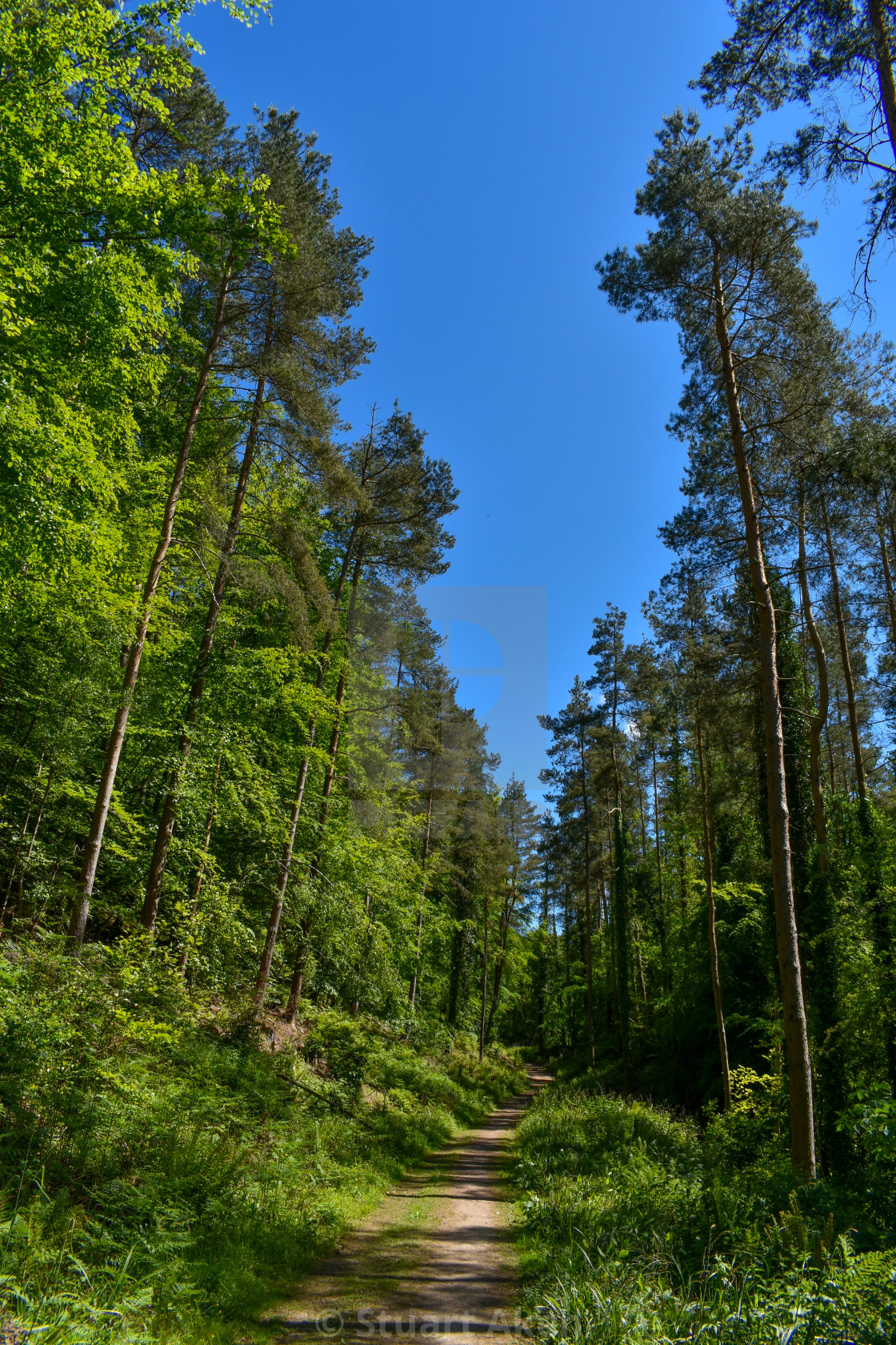 """""""The Sunlit Forest Track"""" stock image"""