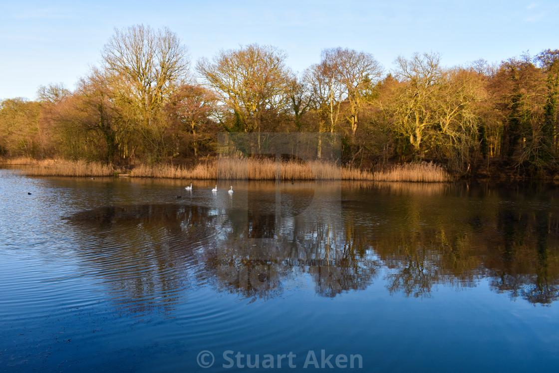 """We Three Swans"" stock image"