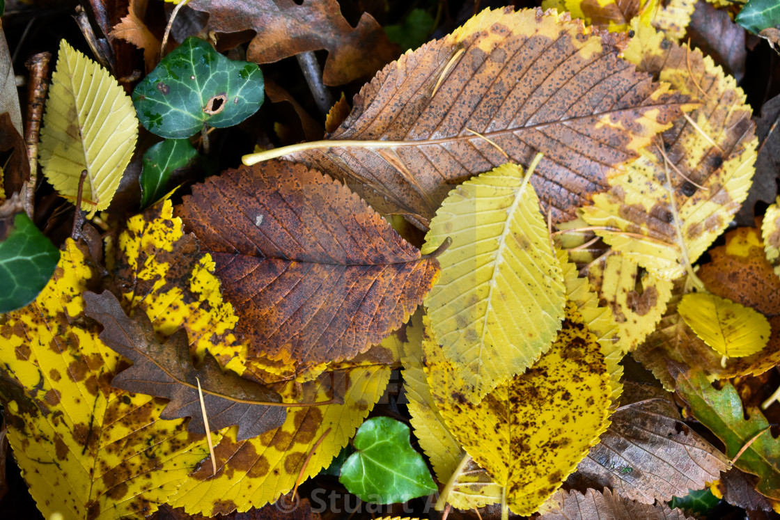 """Autumn Leaves #19"" stock image"