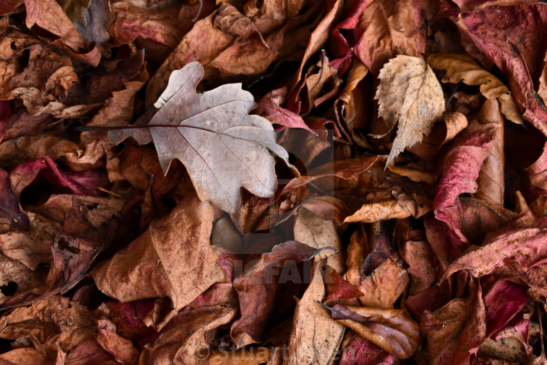 """Autumn Leaves #20"" stock image"