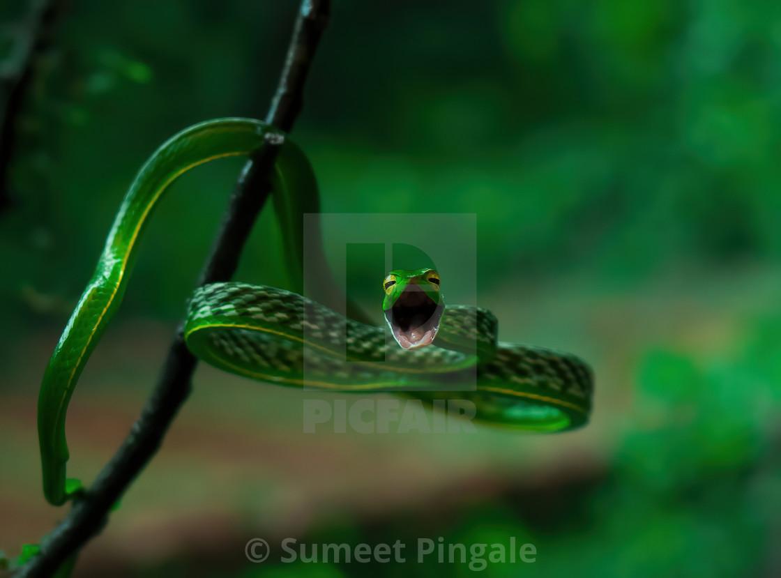 """Greenvine snake"" stock image"