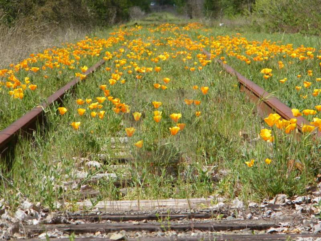"""""""Poppies on the track"""" stock image"""