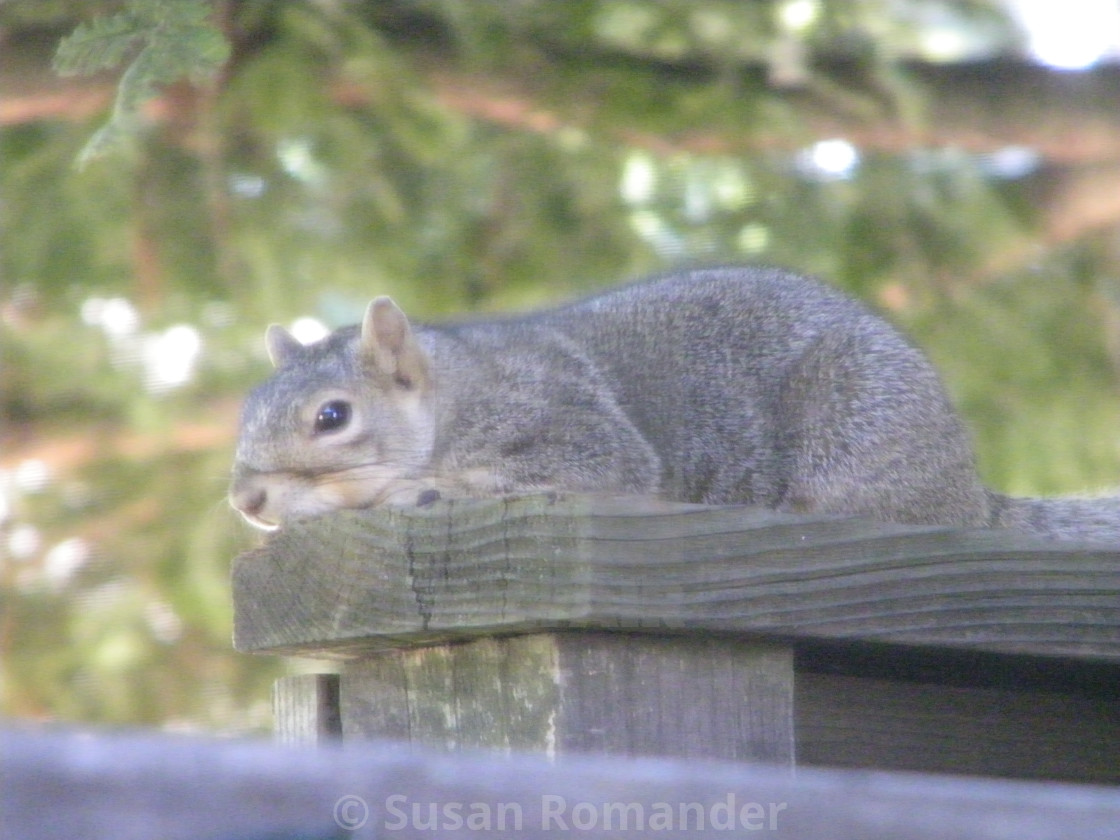 """Resting Squirrel"" stock image"