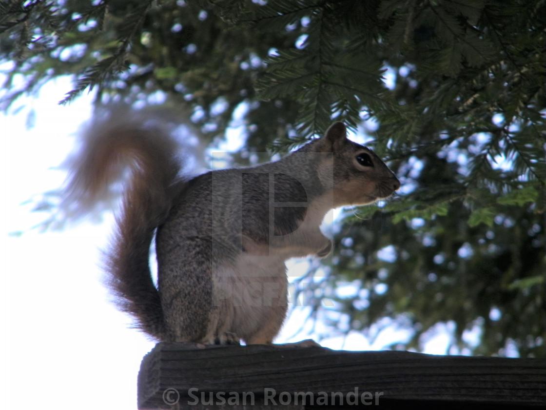 """Sweet Squirrel"" stock image"