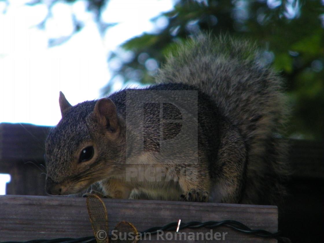 """Peaceful Squirrel"" stock image"
