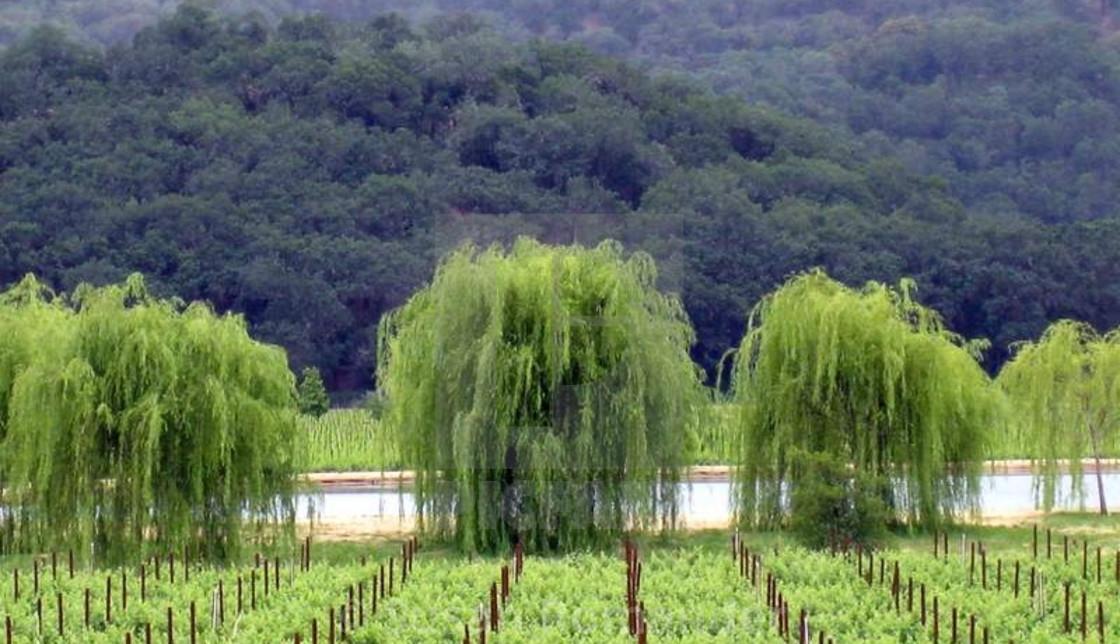 """Willow trees at Jeriko Pond"" stock image"