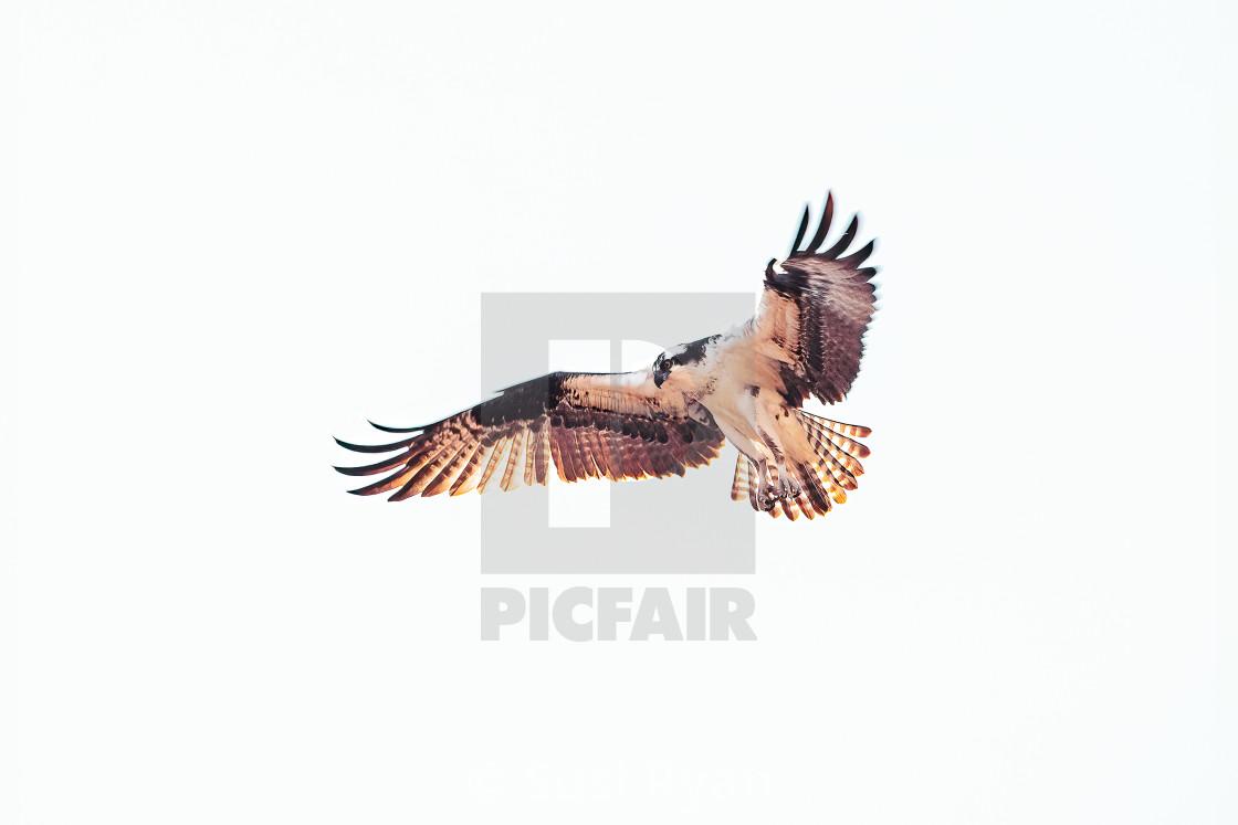 """Osprey in Flight"" stock image"