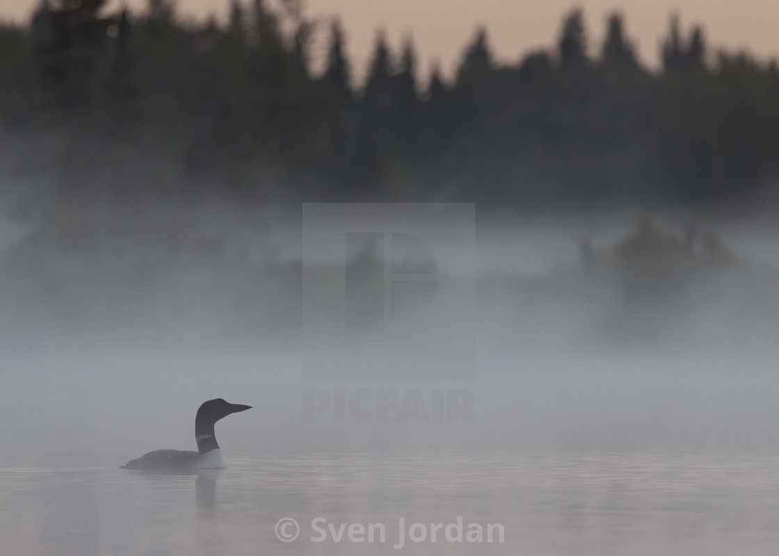 """Common loon in Anchorage, Alaska"" stock image"