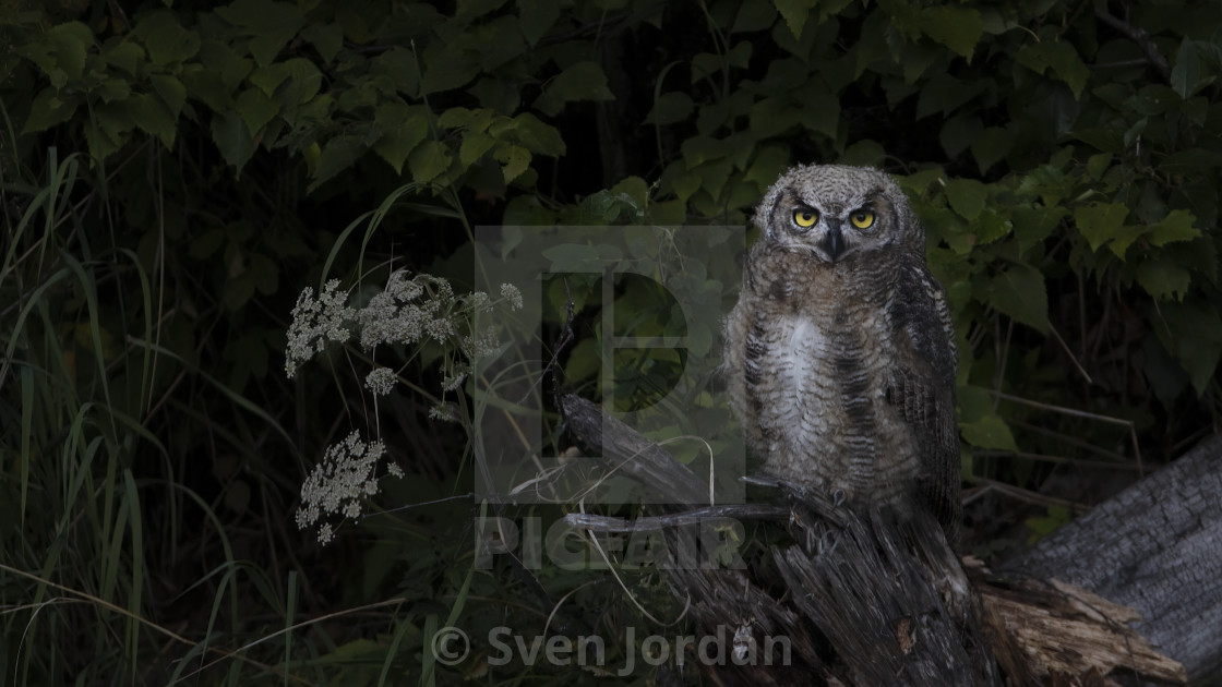 """Young Great Horned Owl"" stock image"