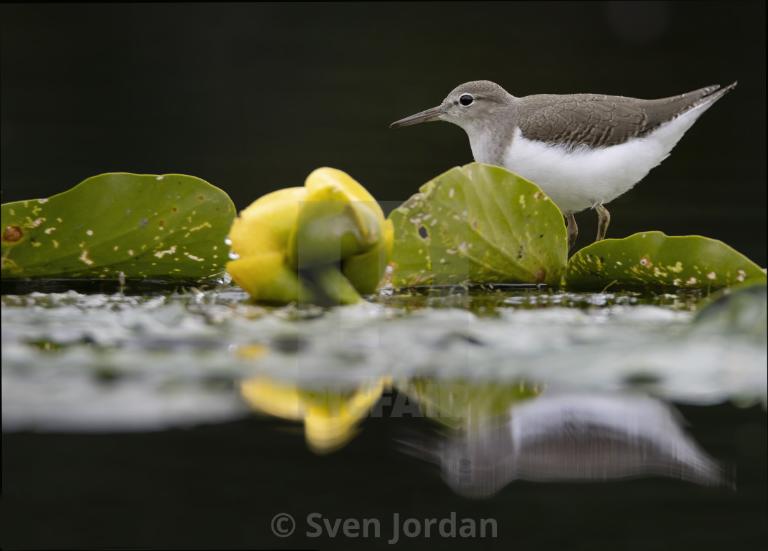 """Spotted sandpiper"" stock image"