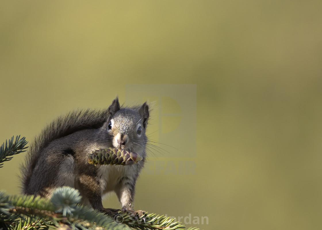 """Squirrel getting ready for winter"" stock image"