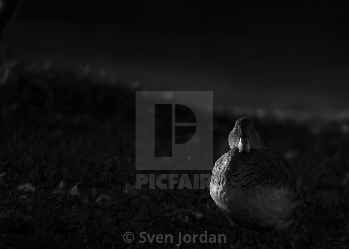 """Resting duck"" stock image"