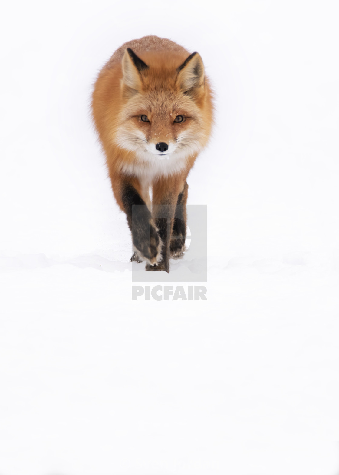 """Red fox high key"" stock image"