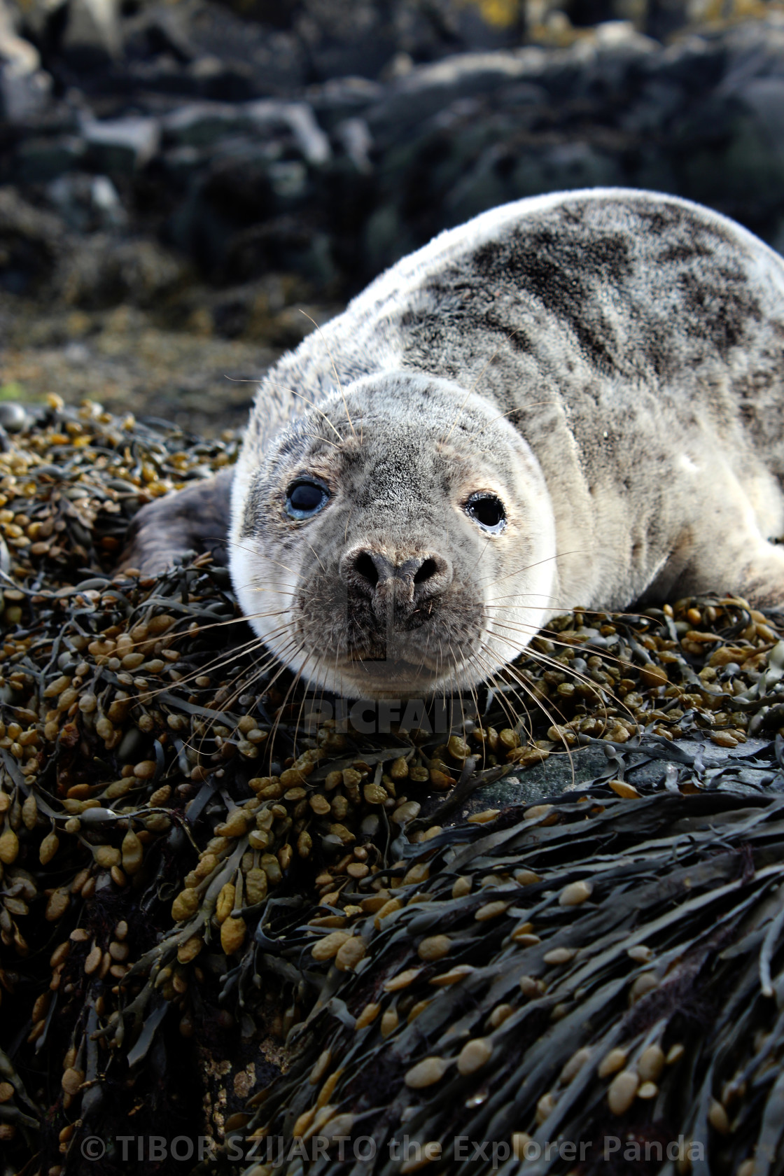 """""""Seal buddy portrait at Isla of May #9"""" stock image"""