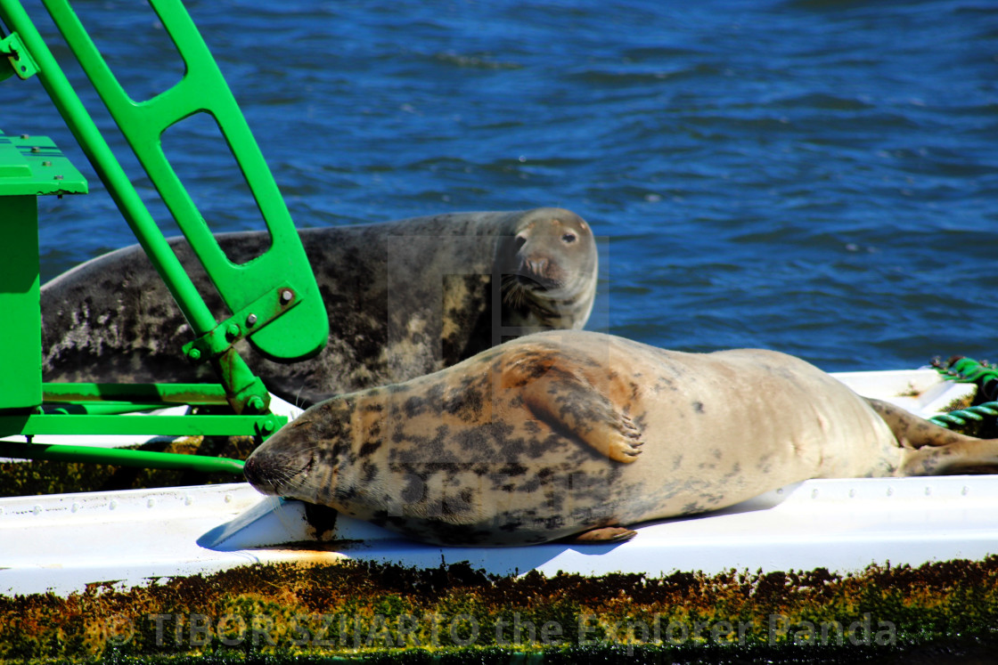 """""""Lazy seals on the buoy in the shipping lane #7"""" stock image"""