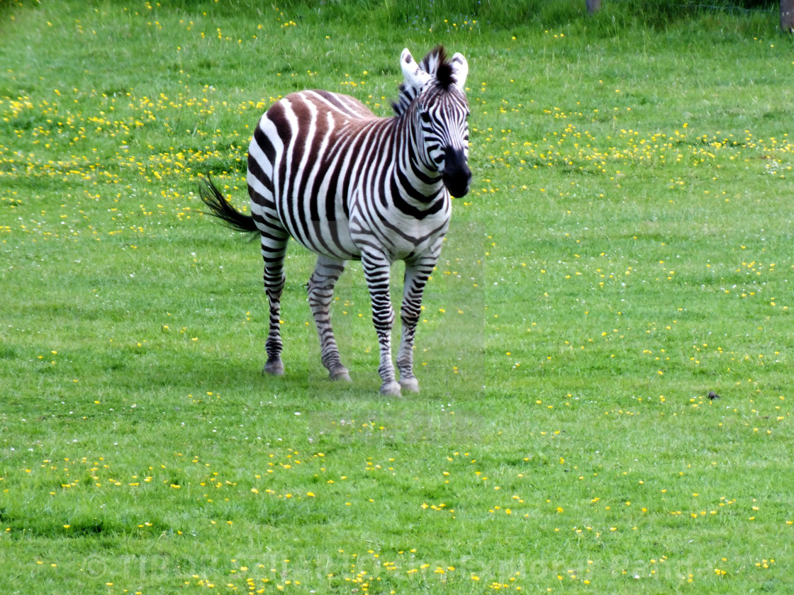 """""""A zebra on the pasture #1"""" stock image"""