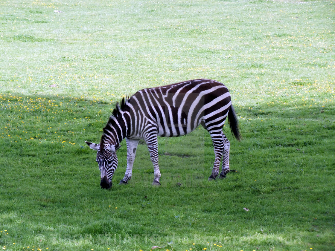 """""""A zebra on the pasture #3"""" stock image"""