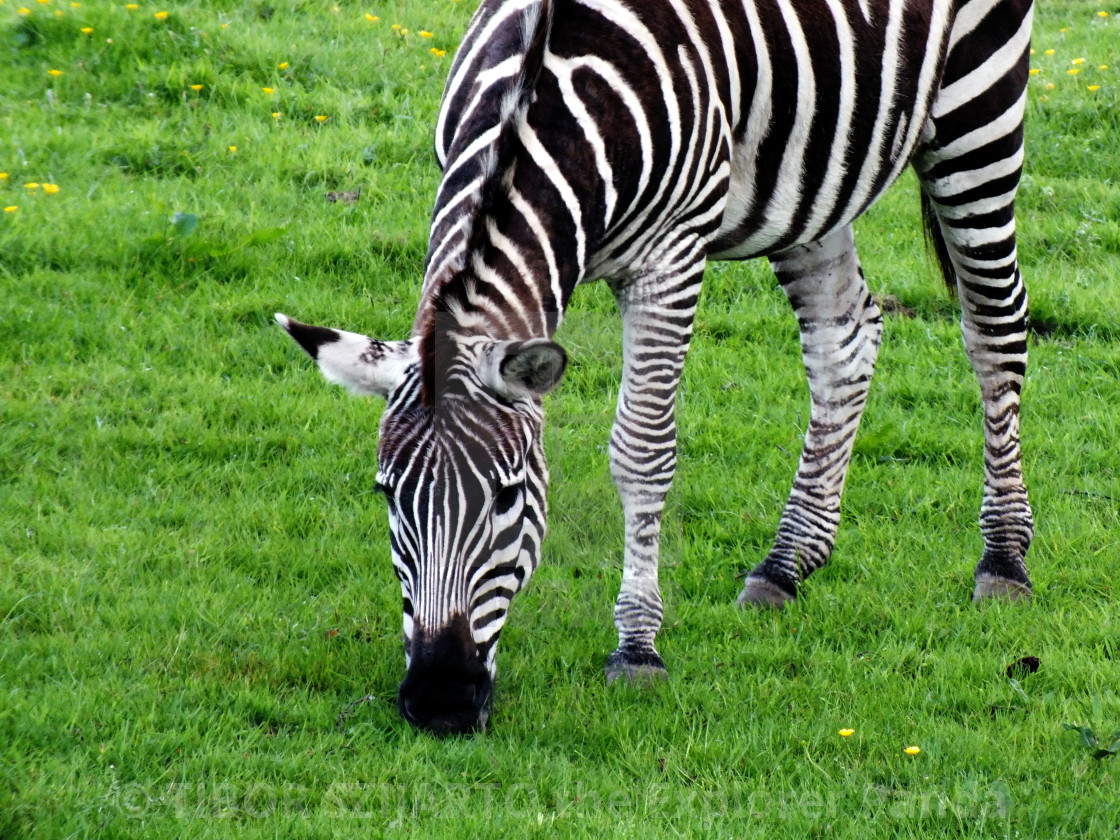 """""""A zebra on the pasture #6"""" stock image"""