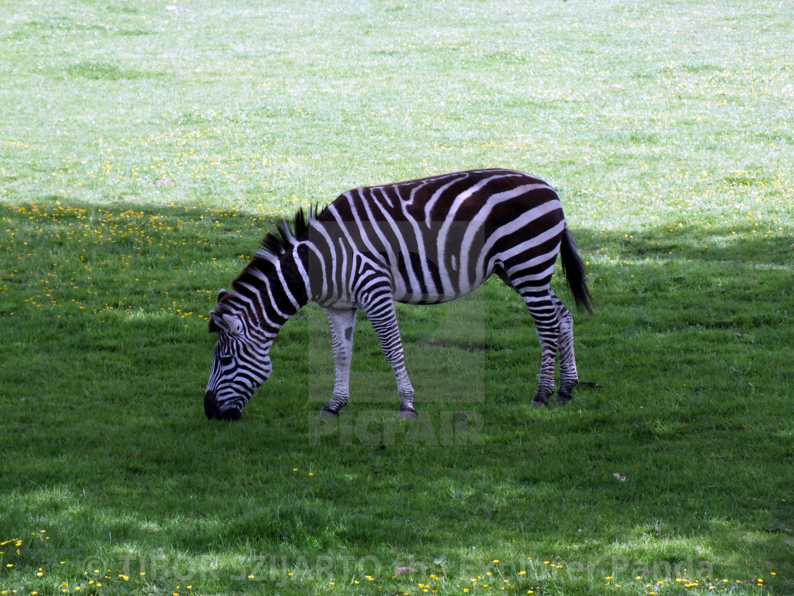 """""""A zebra on the pasture #4"""" stock image"""