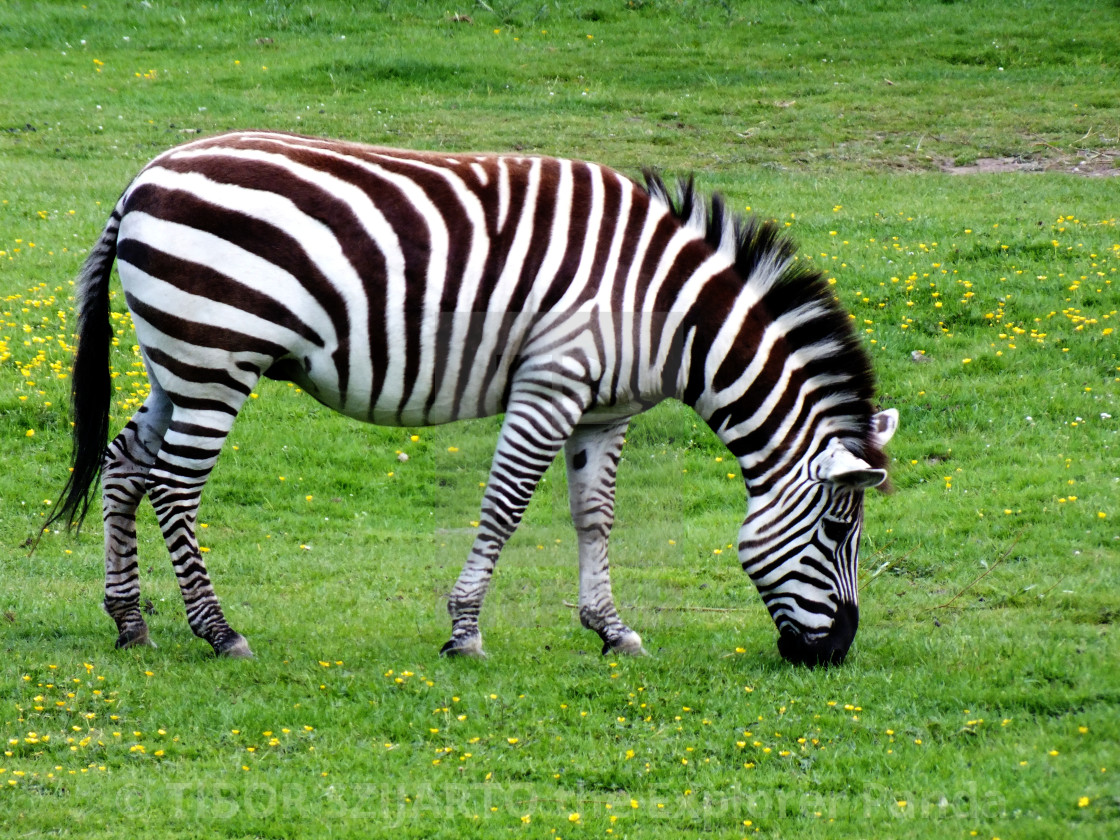 """""""A zebra on the pasture #5"""" stock image"""