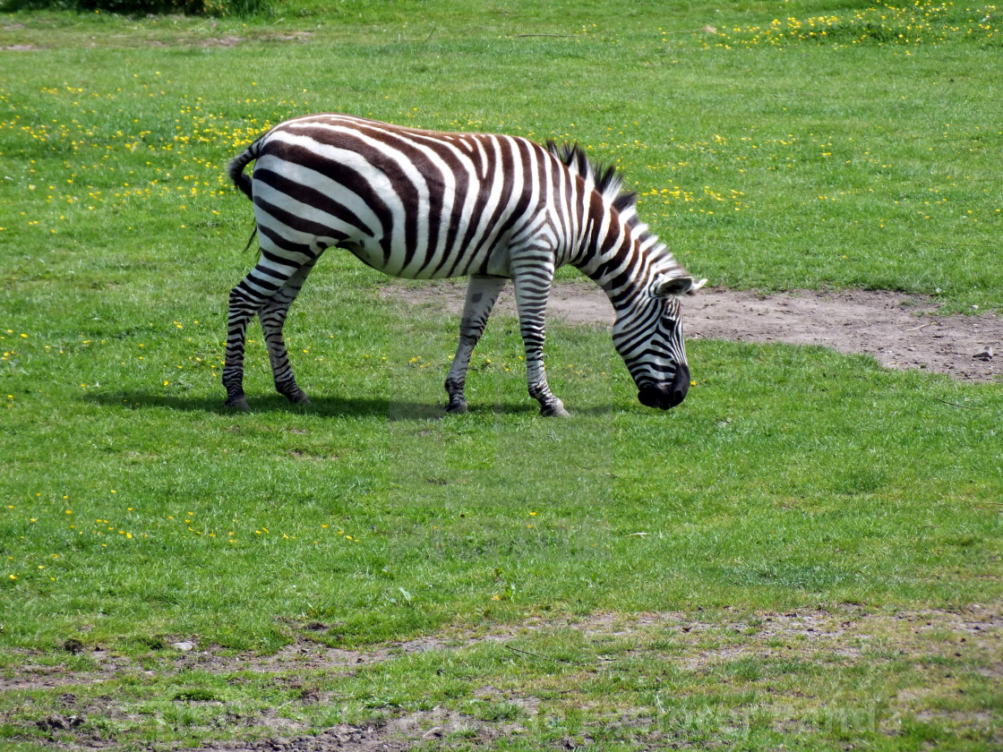 """""""A zebra on the pasture #8"""" stock image"""