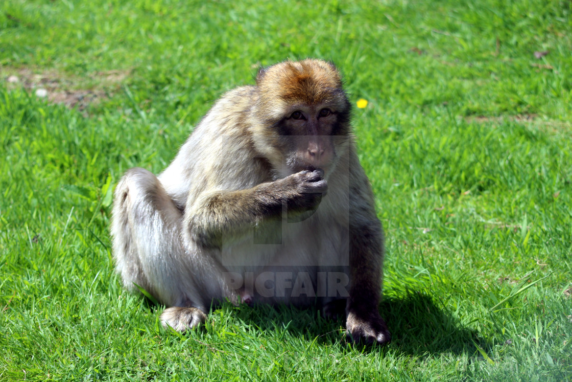 """""""Yes, the mischievous macaque #1"""" stock image"""