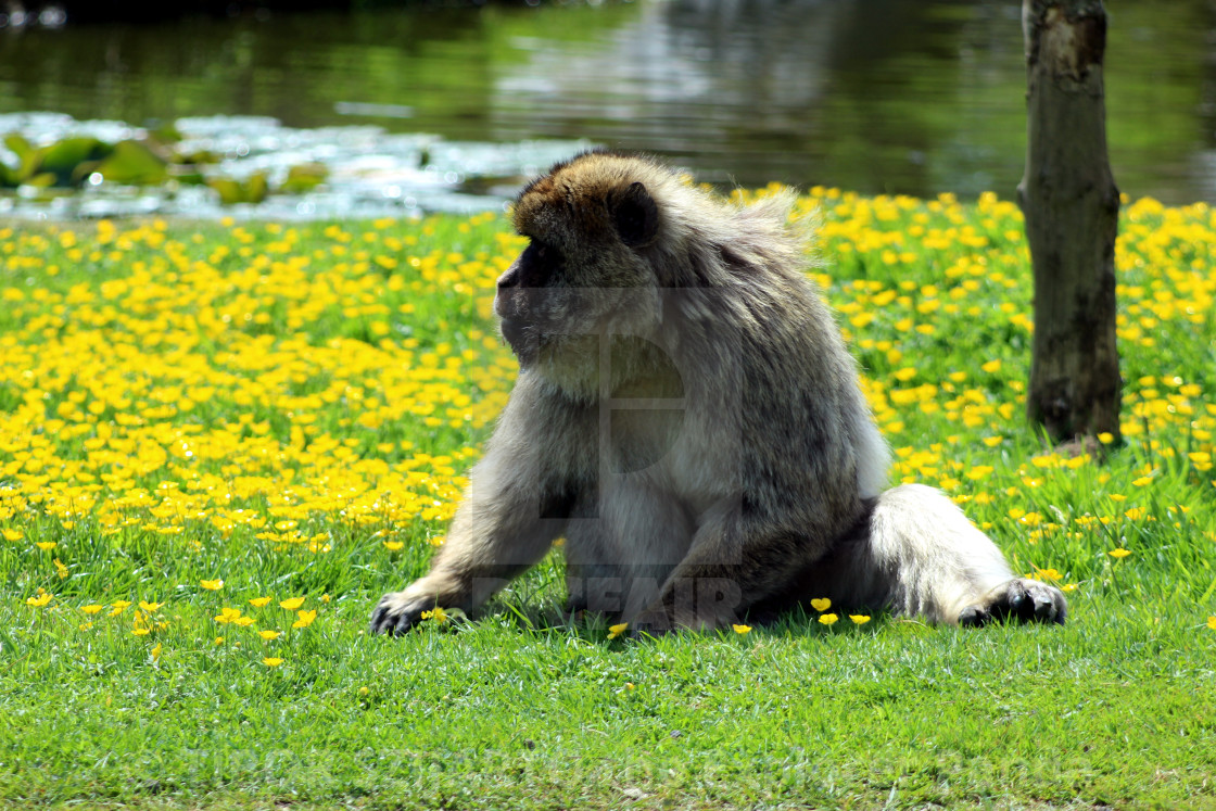"""""""Yes, the mischievous macaque #8"""" stock image"""