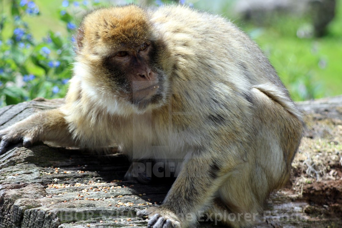 """""""Yes, the mischievous macaque #12"""" stock image"""