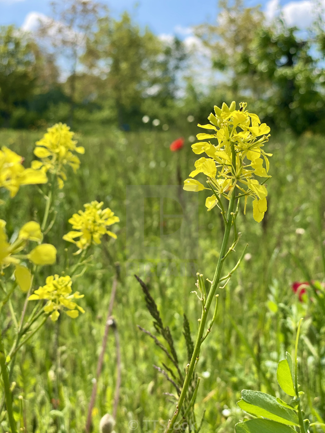 Delicate wild yellow flowers in the spring green grass meadow swaying in the wind on a sunny day.